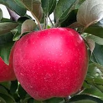 apple meaning in hindi